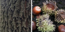 Sawtooth Oak-Bark and Acorns